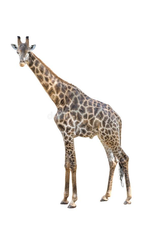 Dicut masculino do corpo inteiro do girafa isolado no fundo branco fotografia de stock