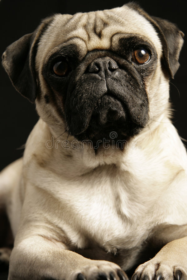 Download Did I Do That? stock photo. Image of doggy, face, puggy - 3498710