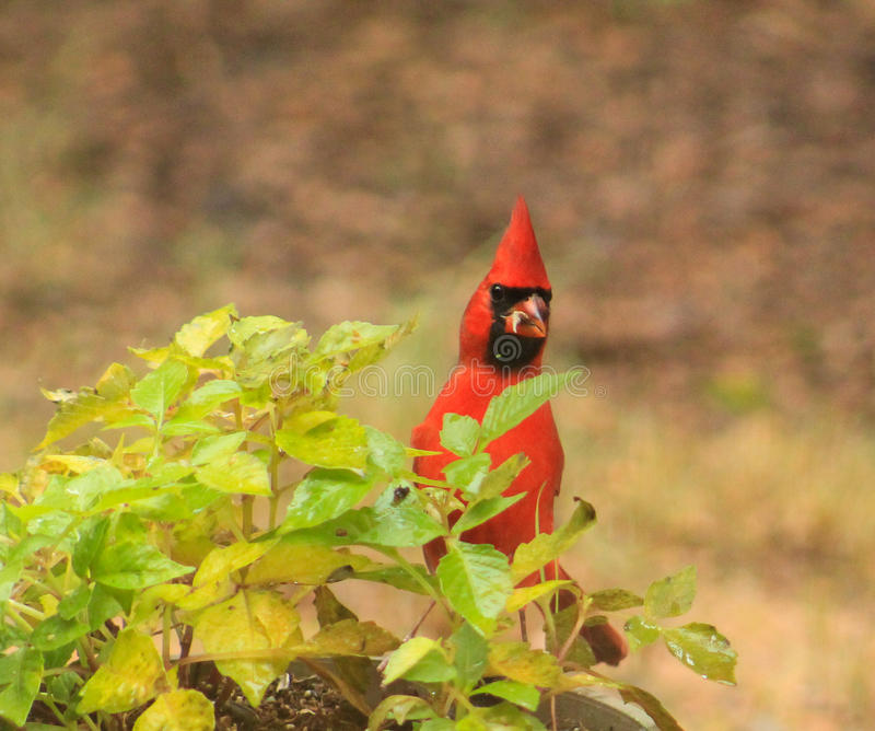 Did someone say cheese? Cardinal. Adult male Cardinal popping his head up while eating from a plant stock photography