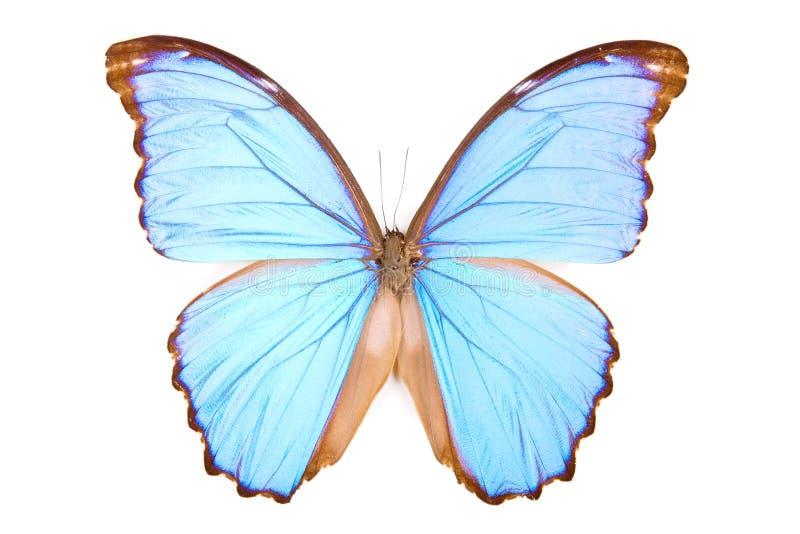 Didius preto e azul de Morpho da borboleta isolado fotografia de stock