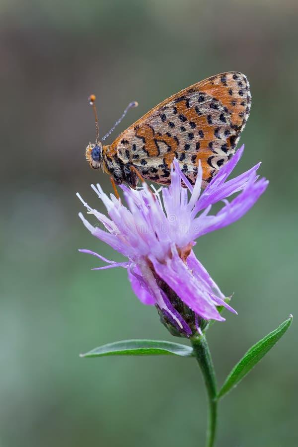 Didyma di Melitaea fotografie stock libere da diritti