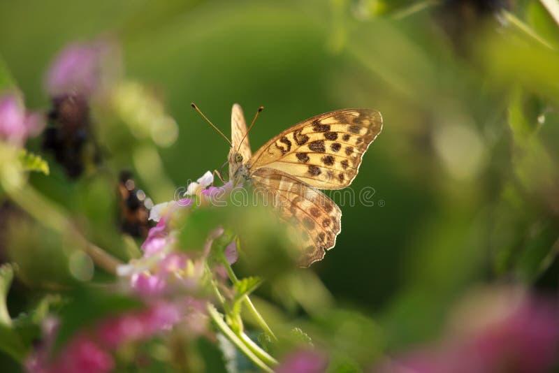 Didyma di Melitaea sul fiore della lantana fotografia stock libera da diritti