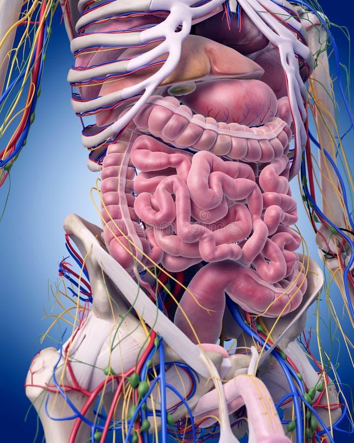 Die Abdominal- Anatomie stock abbildung. Illustration von rücken ...
