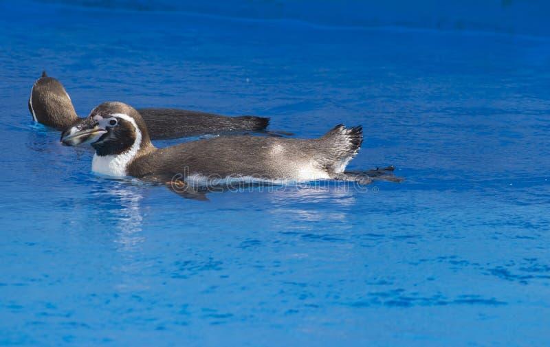 Die afrikanische Pinguin Spheniscus demersus Schwimmen unter blauem Wasser stockbild