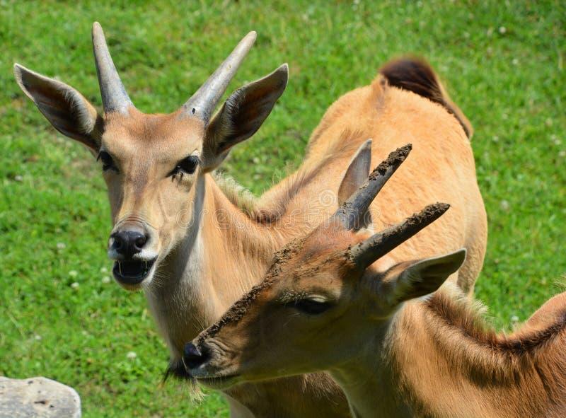Die allgemeine Elenantilope, stockfoto