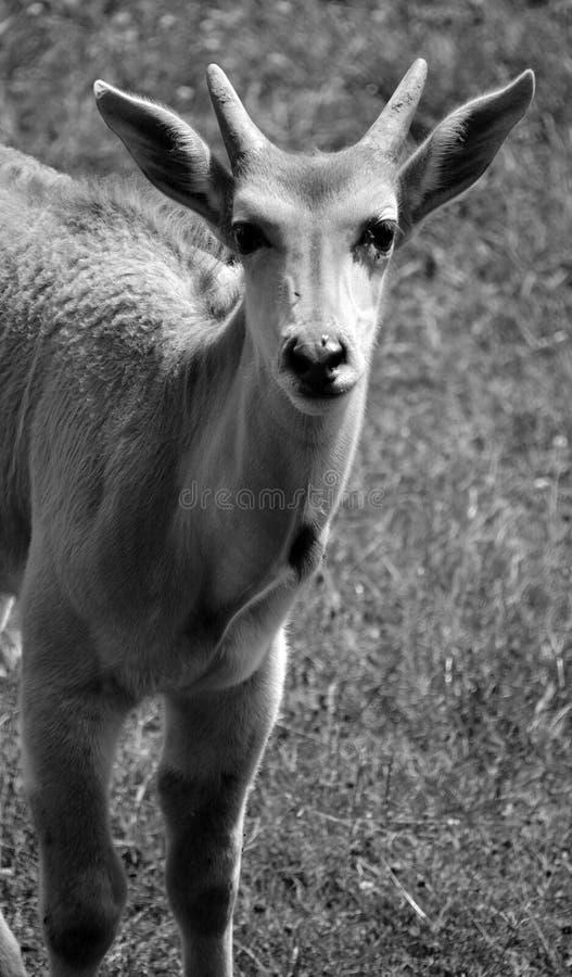 Die allgemeine Elenantilope, stockbild