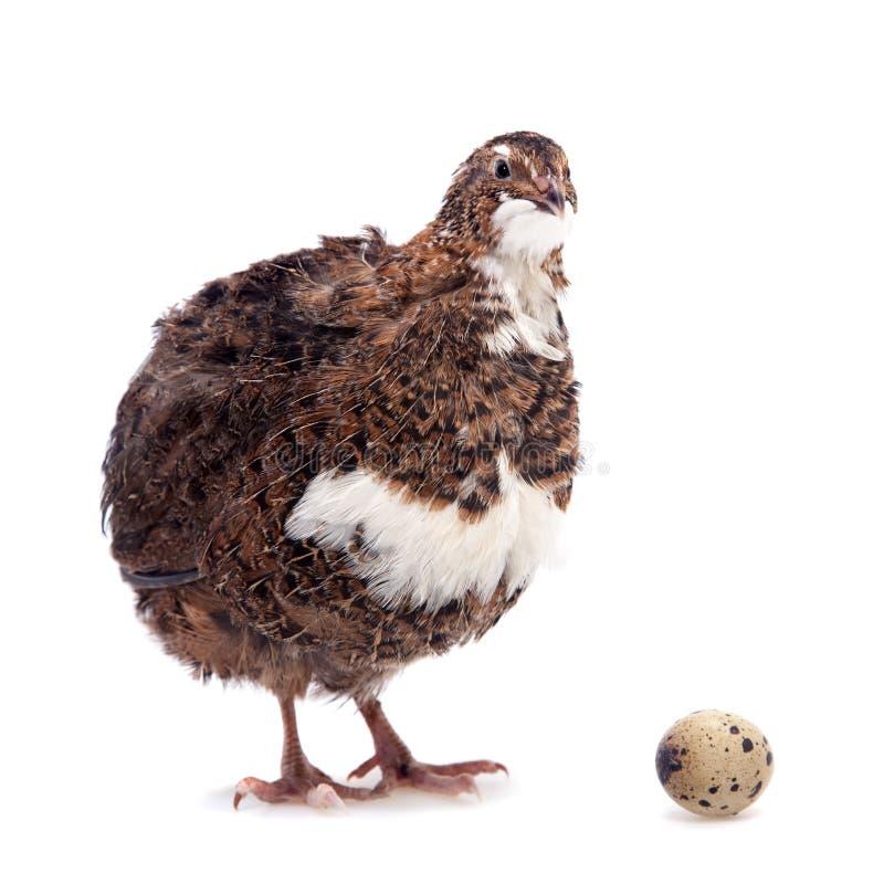 Die allgemeinen Wachteln mit seinen Eiern auf Weiß lizenzfreies stockbild