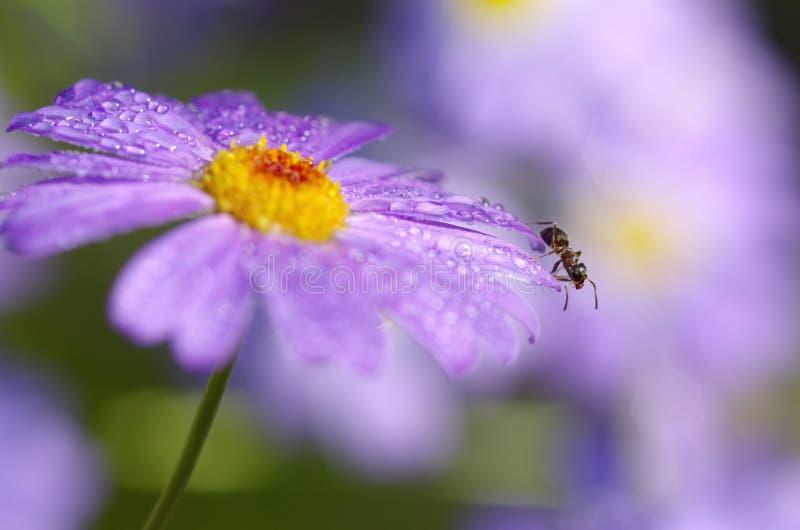 Die Ameise auf dem Blume Brachycome lizenzfreies stockfoto