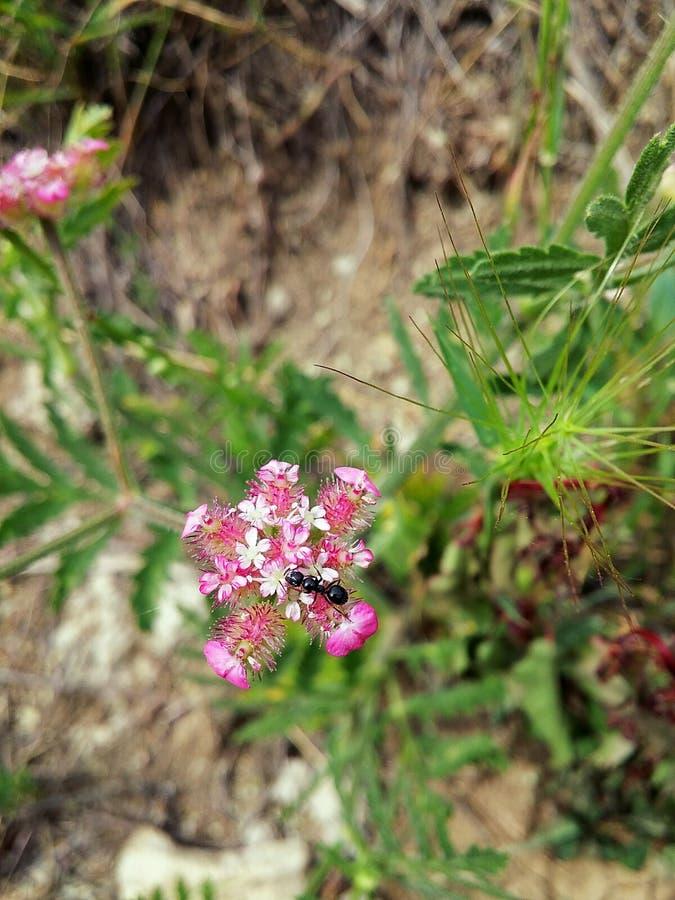 Die Ameise auf der Blume lizenzfreies stockfoto