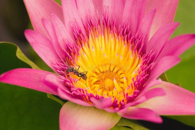 Die Ameise, die an rosa und gelbem Lotos arbeitet stockbilder