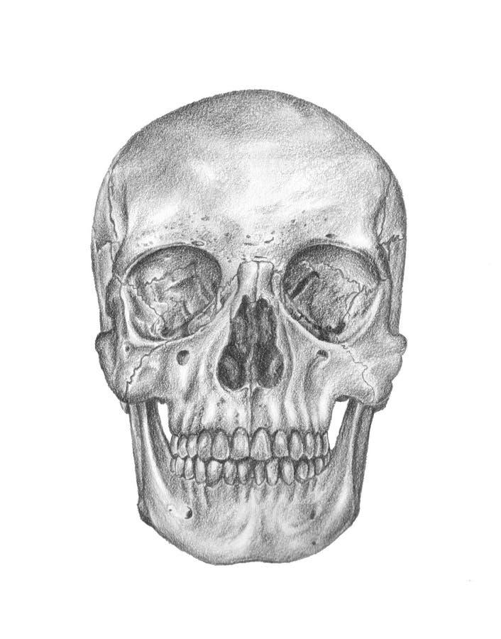 Die Anatomie des Mannes. Der Schädel lizenzfreie abbildung