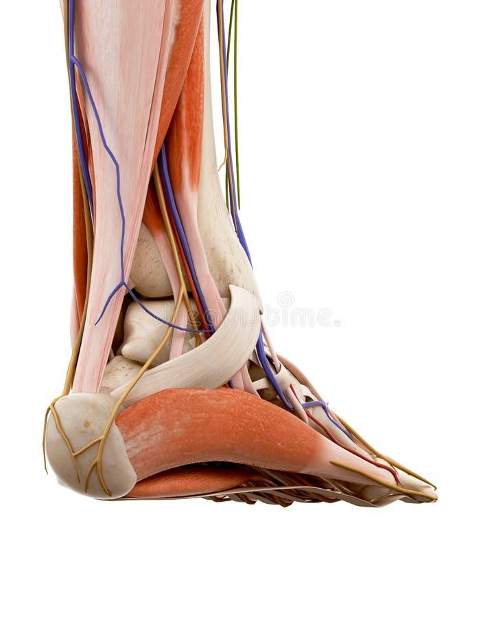 Die Anatomie des menschlichen Fußes lizenzfreie abbildung
