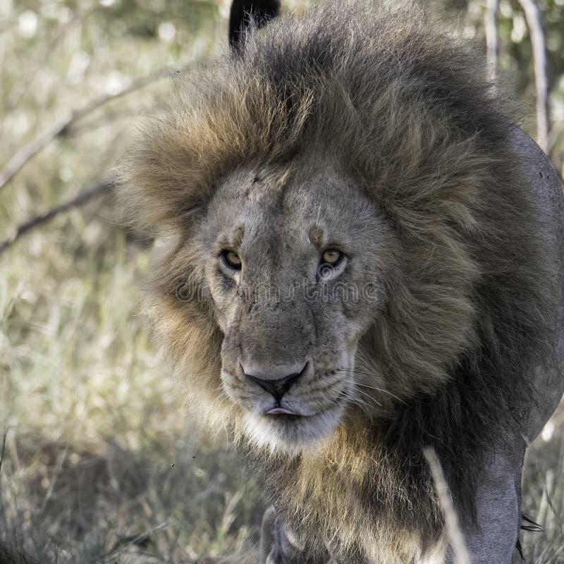 Die Ankunft des Löwes in der Savanne, Kenia stockbilder