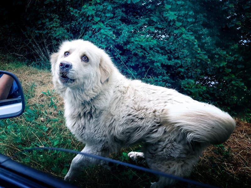 Die Ansicht vom Autofenster auf einem laufenden Hund verlassen im Wald mit traurigen Augen lizenzfreie stockfotos