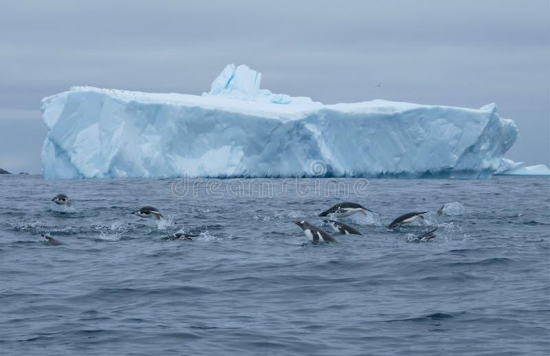 Die Antarktis-gentoo, chinstrap, porpoising Adeliepinguine und Gruppenjagd stockbild
