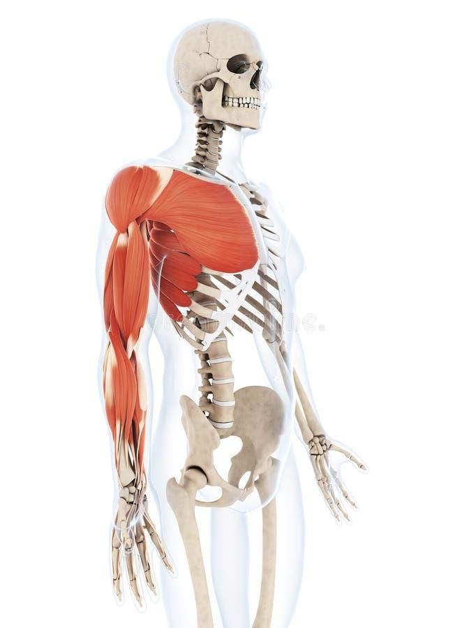 Die Armmuskulatur vektor abbildung