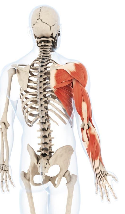Die Armmuskulatur stock abbildung