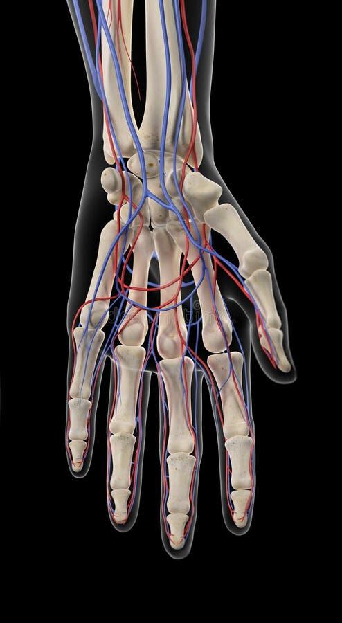 Die Arterien Und Die Adern Der Hand Stock Abbildung - Illustration ...