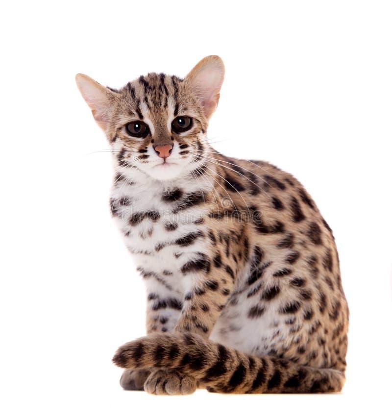 Die asiatische Leopardkatze auf Weiß stockfoto