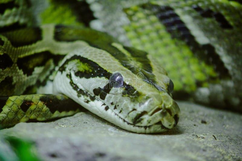 Die Augen der Pythonschlange starrten entlang etwas an stockbilder