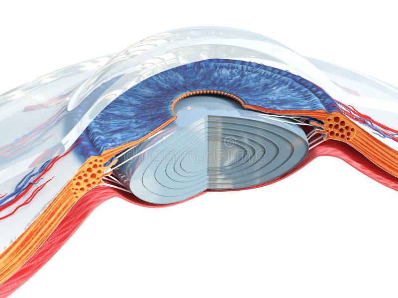 Die Augenanatomie vektor abbildung