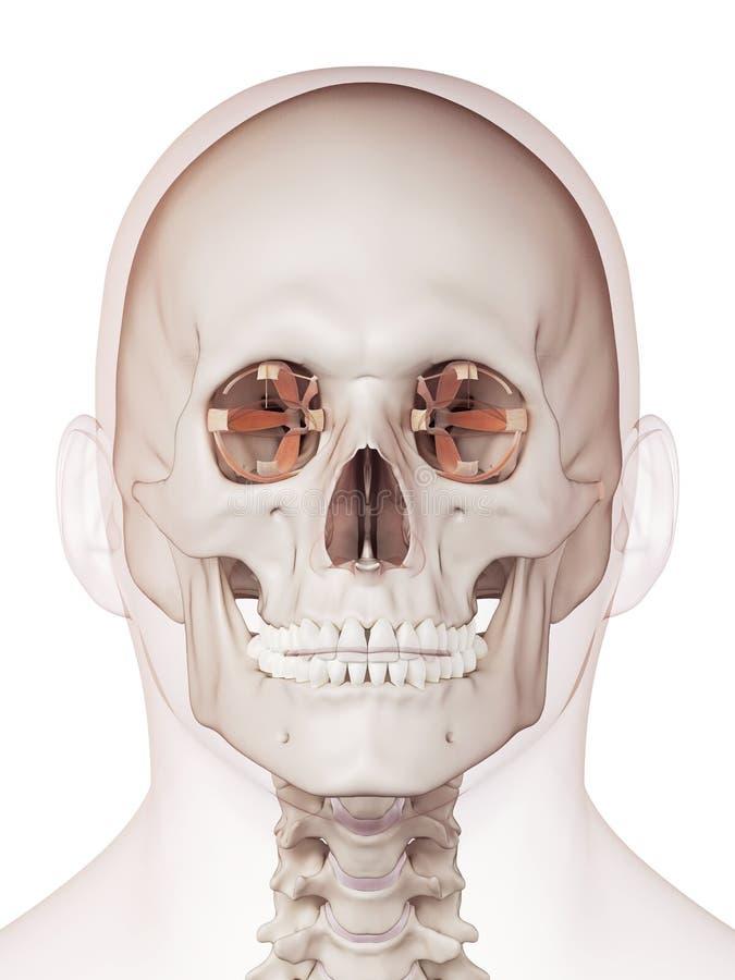 Die Augenmuskeln stock abbildung. Illustration von muskel - 57548083