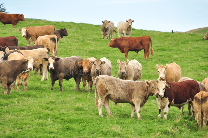 Die azing Kühe G-(r) stockfotografie