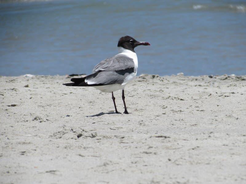 Die Aztekenmöwe, die einen warmen sonnigen Tag auf dem Strand genießt lizenzfreies stockfoto