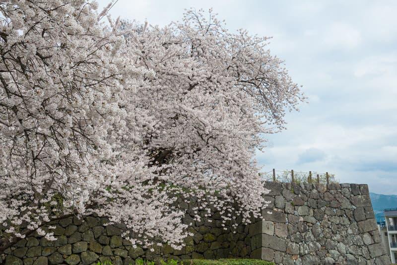 Die Bäume und das Kajo Kirsche-Blüte der vollen Blüte ziehen sich Wand zurück stockfoto