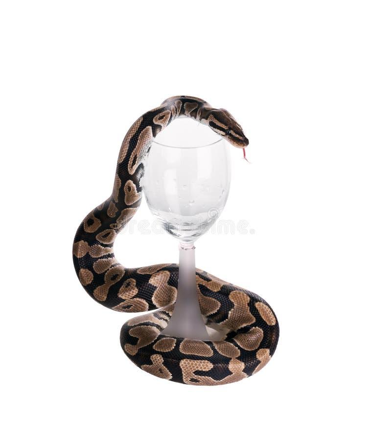 Die Ballpythonschlange u. das x28; Pythonschlange regius& x29; , königliche Pythonschlange Schlangenverpackungen ein Weinglas Get stockbilder