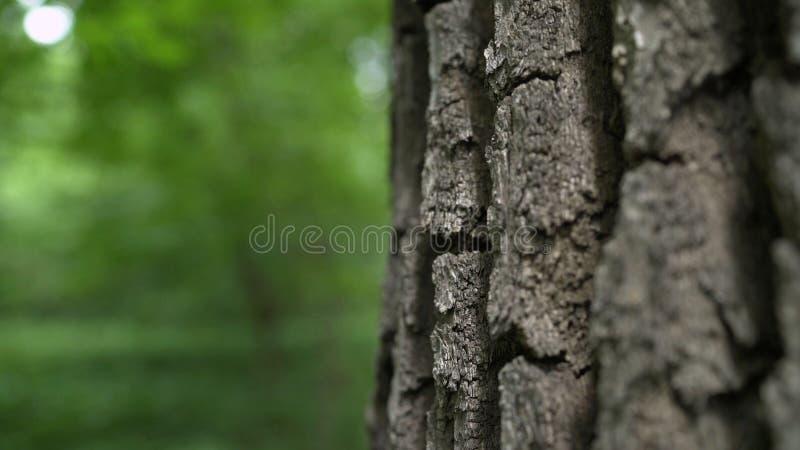 Die Barke einer jahrhundertalten Eiche Starke Schicht der Barke auf Eiche Die Barke vom Eichenmakro Eiche mit einem großen Baumst stock abbildung