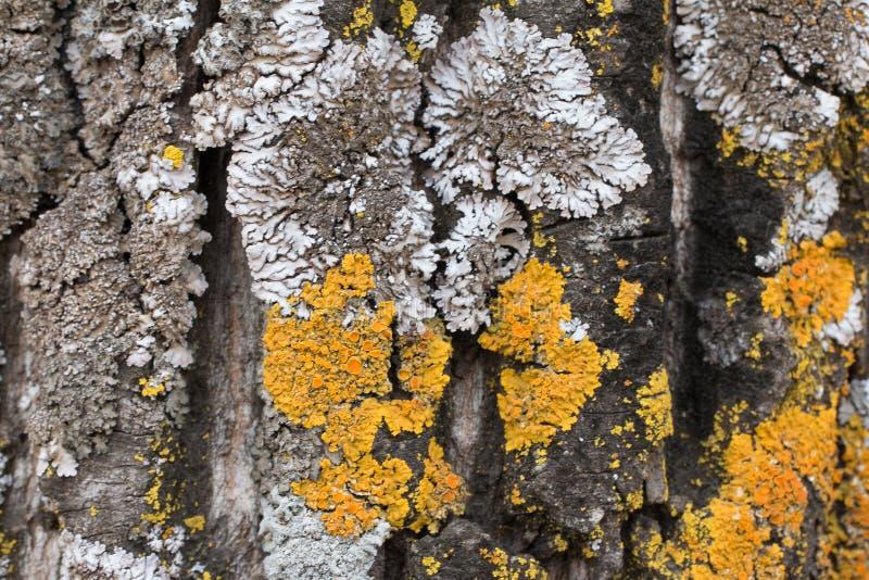 Die Barke eines alten Baums bedeckt mit einem Moos und Flechten als Struktur Farben der Natur Abschluss oben Makro stockbild
