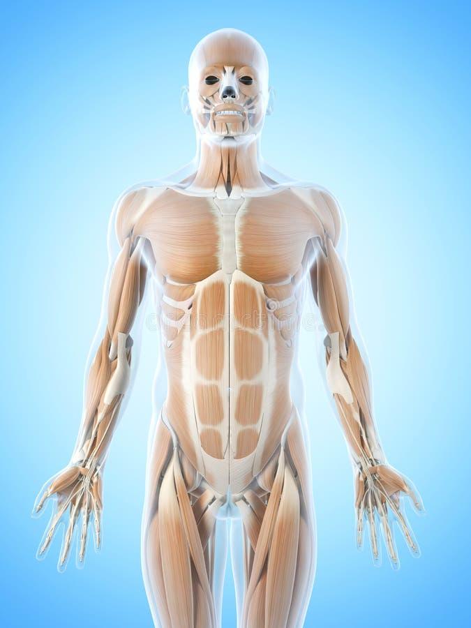 Die Bauchmuskeln stock abbildung. Illustration von graphik - 39791344