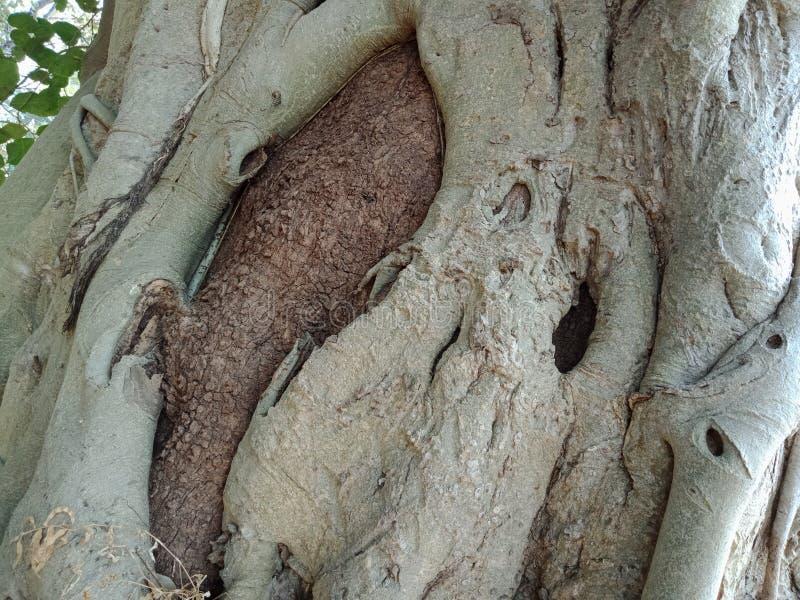 Die Baumwurzeln, die über Baum, Baumwurzeln gewachsen werden, streifen Beschaffenheit, Naturschaffungs-Hintergrundtapete ab lizenzfreie stockfotos