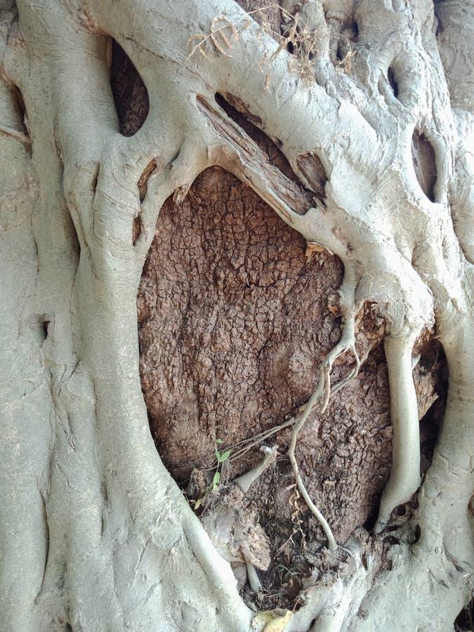 Die Baumwurzeln, die über großem Baum, Baumwurzeln gewachsen werden, streifen Beschaffenheit, Naturschaffungs-Hintergrundtapete a stockfotos