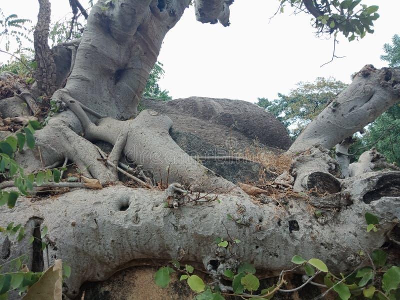 Die Baumwurzeln, die über großem Felsen, Baumwurzeln gewachsen werden, streifen Beschaffenheit, Naturschaffungs-Hintergrundtapete lizenzfreies stockfoto