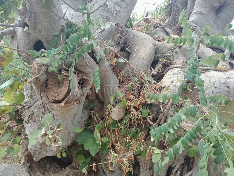 Die Baumwurzeln, die über großem Felsen, Baumwurzeln gewachsen werden, streifen Beschaffenheit, Naturschaffungs-Hintergrundtapete lizenzfreie stockfotografie