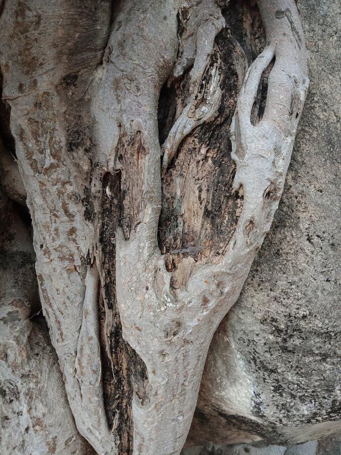 Die Baumwurzeln, die über großem Felsen, Baumwurzeln gewachsen werden, streifen Beschaffenheit, Naturschaffungs-Hintergrundtapete stockfotos