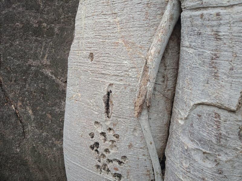 Die Baumwurzeln, die über großem Felsen, Baumwurzeln gewachsen werden, streifen Beschaffenheit, Naturschaffungs-Hintergrundtapete stockbilder