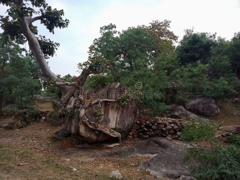 Die Baumwurzeln, die über großem Felsen, Baumwurzeln gewachsen werden, streifen Beschaffenheit, Naturschaffungs-Hintergrundtapete stockbild
