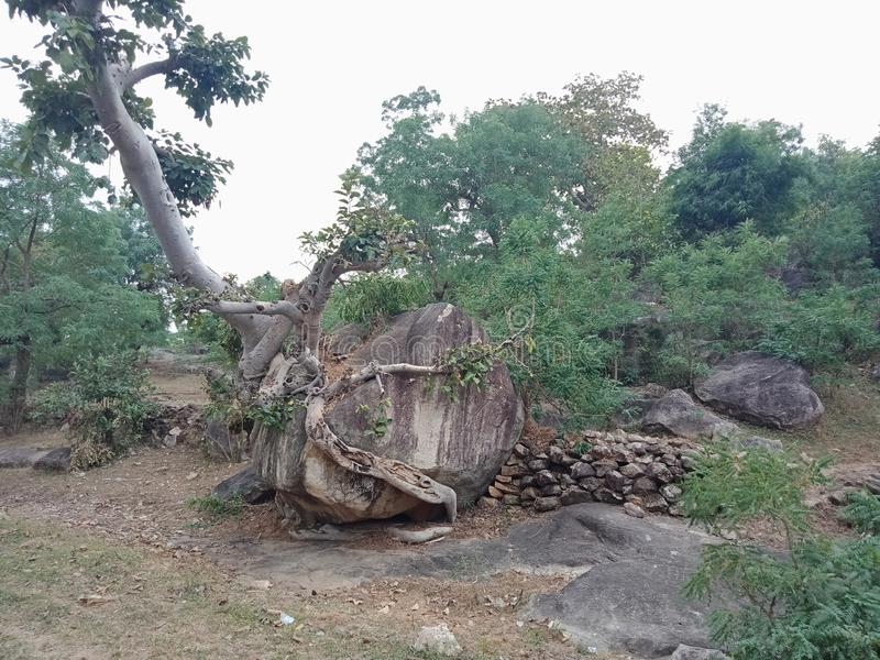 Die Baumwurzeln, die über großem Felsen, Baumwurzeln gewachsen werden, streifen Beschaffenheit, Naturschaffungs-Hintergrundtapete lizenzfreies stockbild