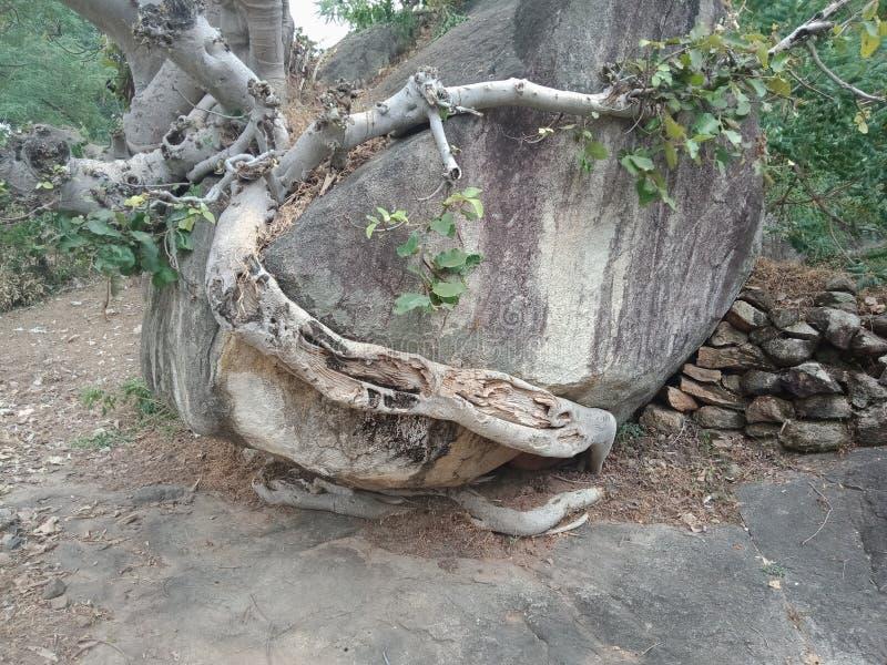 Die Baumwurzeln, die über großem Felsen, Baumwurzeln gewachsen werden, streifen Beschaffenheit, Naturschaffungs-Hintergrundtapete stockfotografie