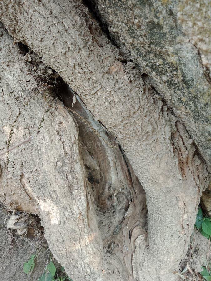 Die Baumwurzeln, die über großem Felsen, Baumwurzeln gewachsen werden, streifen Beschaffenheit, Naturschaffungs-Hintergrundtapete lizenzfreie stockbilder