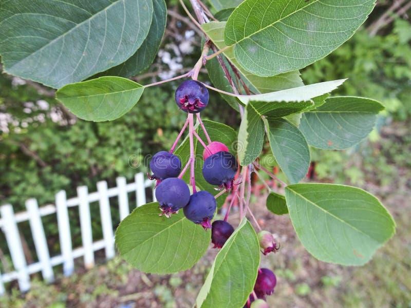 Die Beere des Shadberry gereiften Amelanchier Ein Bündel Beeren auf einer Niederlassung lizenzfreie stockfotos