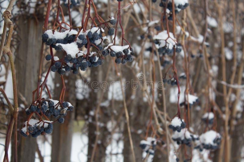 die Beeren der Ersttraube, die unter dem Schnee, gefrorenes Weinrebefreien, Winterhintergrund ist stockfoto