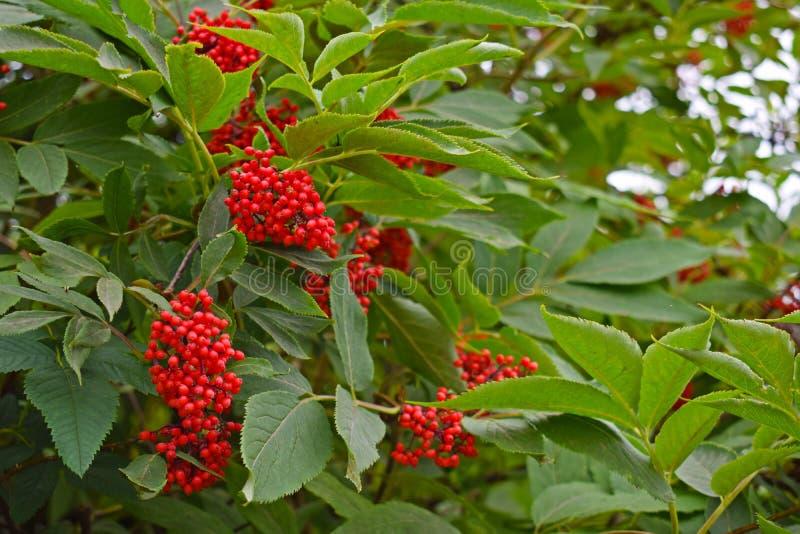 Die Beeren der roten Holunderbeere stockfotos