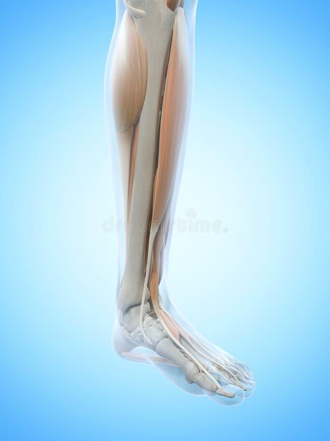Die Beinmuskeln stock abbildung. Illustration von anatomie - 39791388
