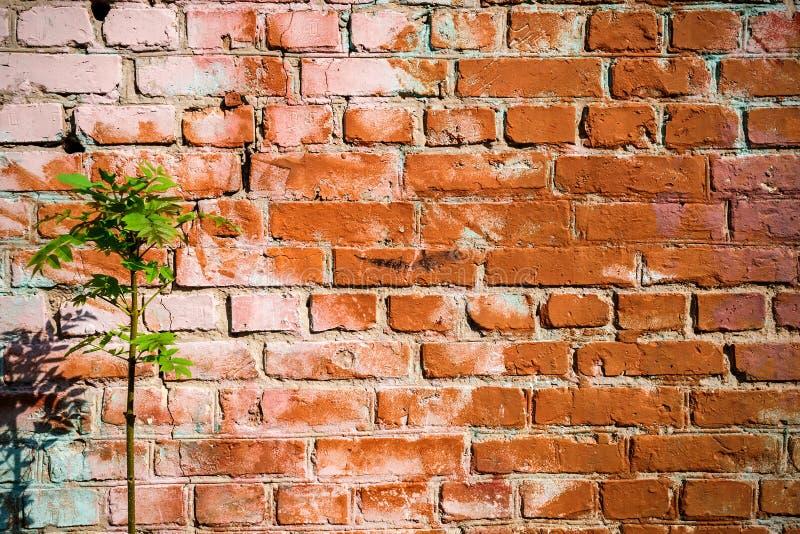 Die Beschaffenheit der Backsteinmauer, gemalt mit alter Farbe und grünem Baum lizenzfreies stockbild