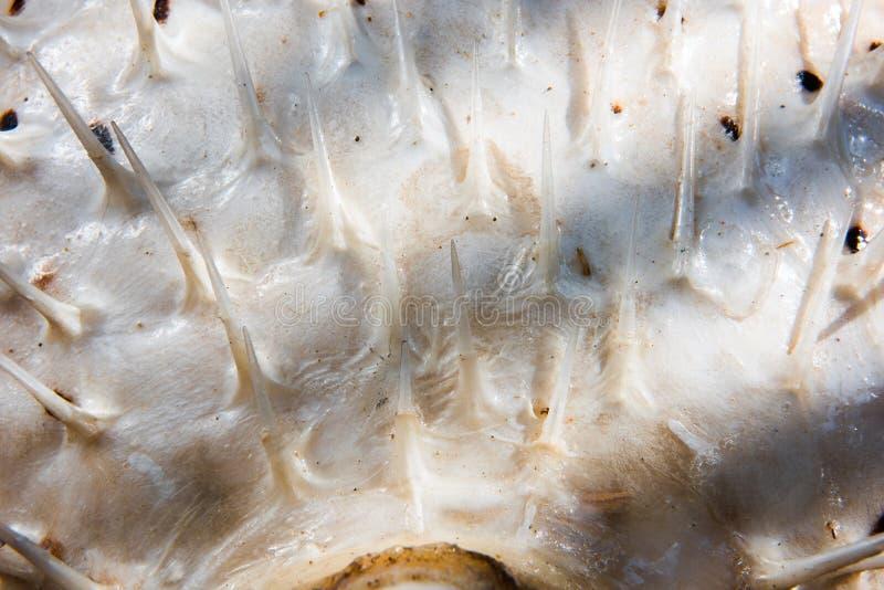 Die Beschaffenheit der Haut der Ballonfische wird lackiert stockbilder