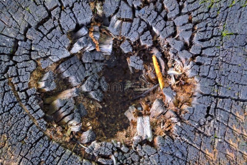 Die Beschaffenheit der Scheibe des alten faulen Stumpfs mit Sprüngen und Jahresringen stockfoto